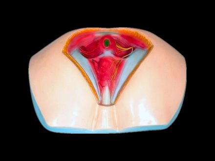 Model of female perineum