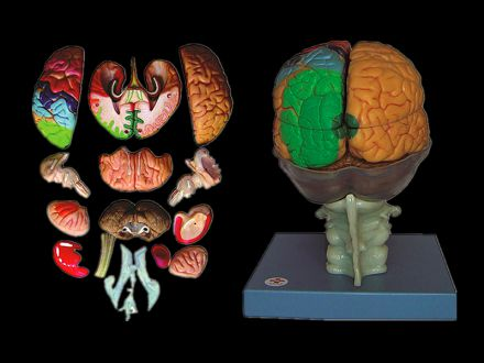 Model of brain 15 parts
