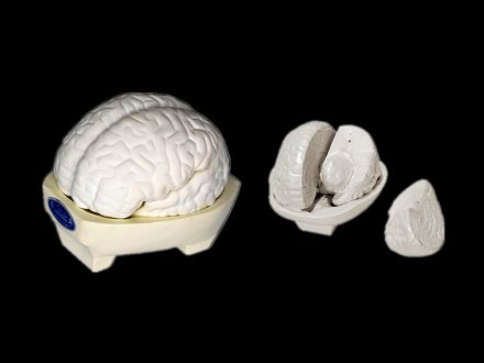 Model of brain 3 parts