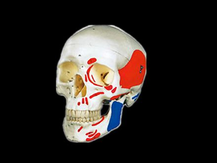 Advanced skull colored muscle model