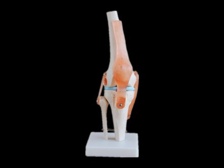 Knee joint with ligament