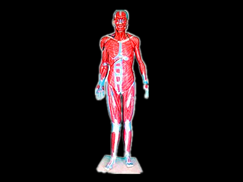 Model of the whole body muscle
