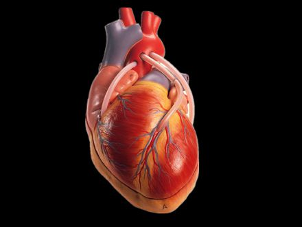 heart with the bypass vascular