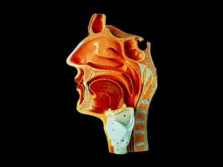 Median sagittal section of nasal cavity oral cavity and laryngeal cavity