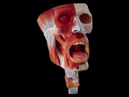Nasal cavity, oral cavity, pharynx and laryngeal cavity model