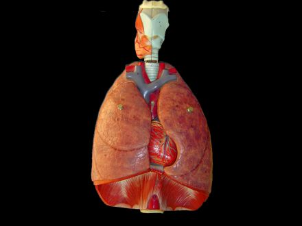 The heart, lungs, diaphragm and larynx model