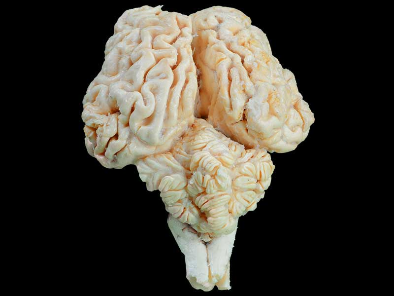 Cattle brain plastinated specimen