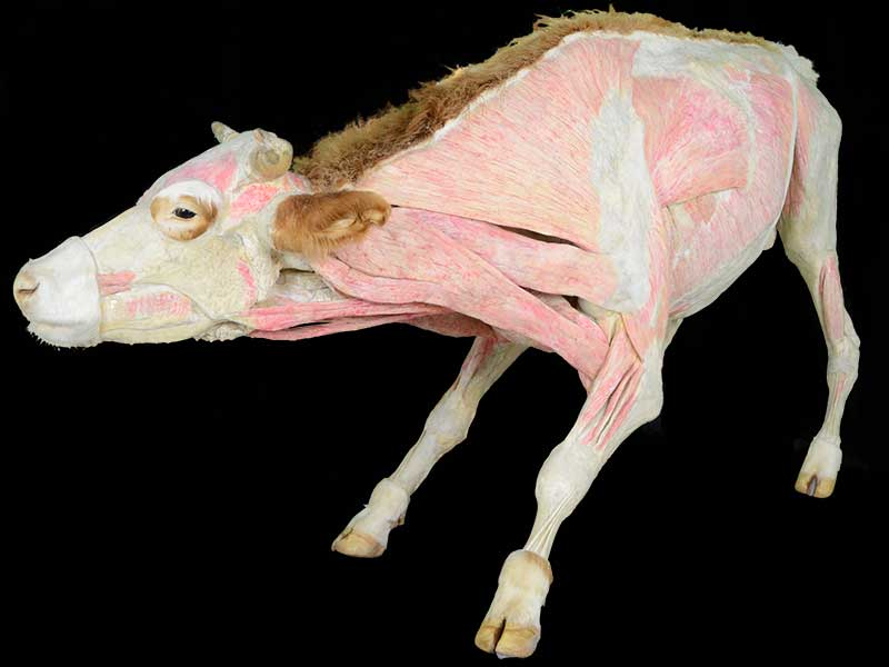 cow specimen plastination
