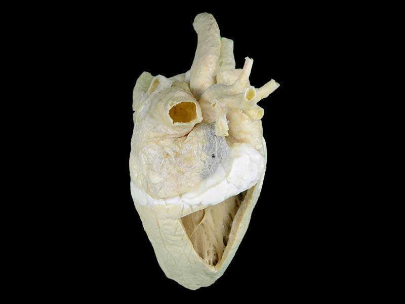 Heart cavity of cow