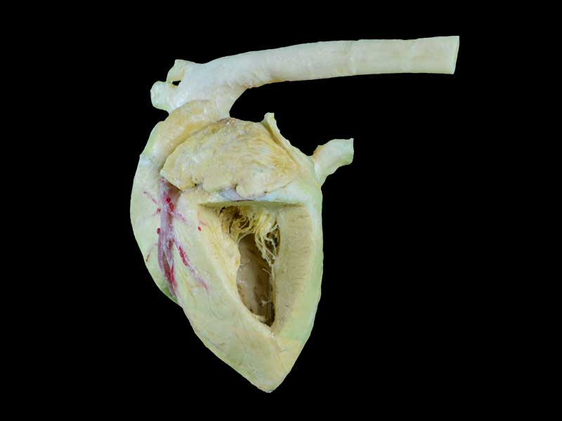 Heart cavity of pig