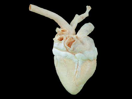 Heart of cow plastinated specimen