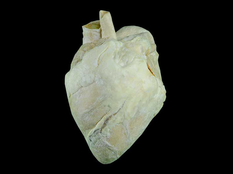heart of cow teaching specimen