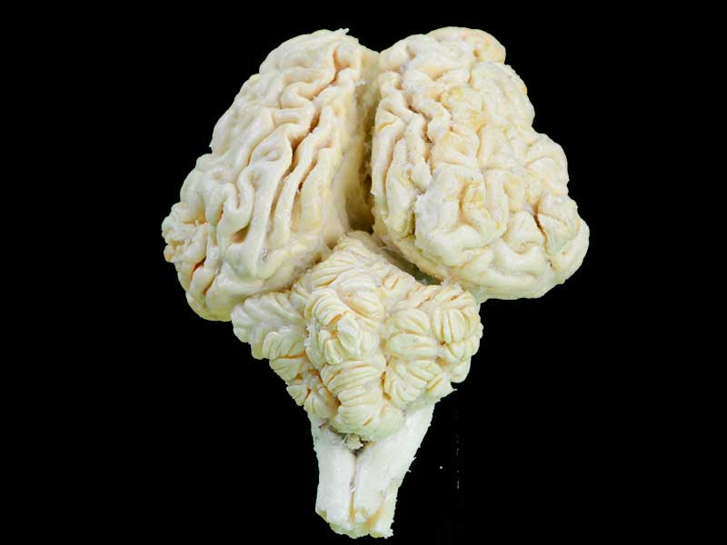 medical cattle brain specimen