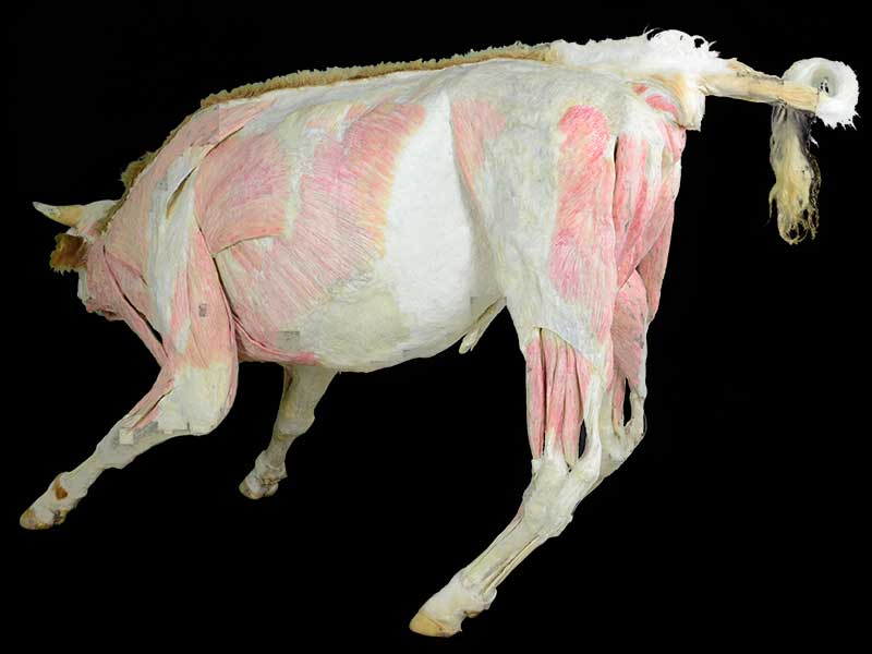 medical cow plastinated specimen