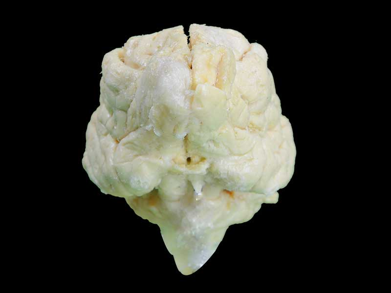 medical dog brain specimen