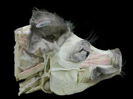 Sagittal section of pig head plastinated specimen