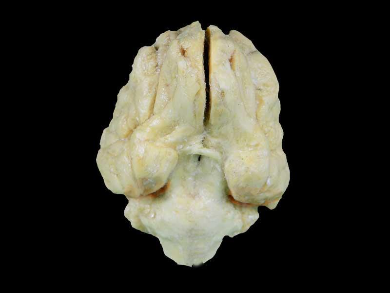 Pig brain plastinated specimen,medical teaching model, medical specimens