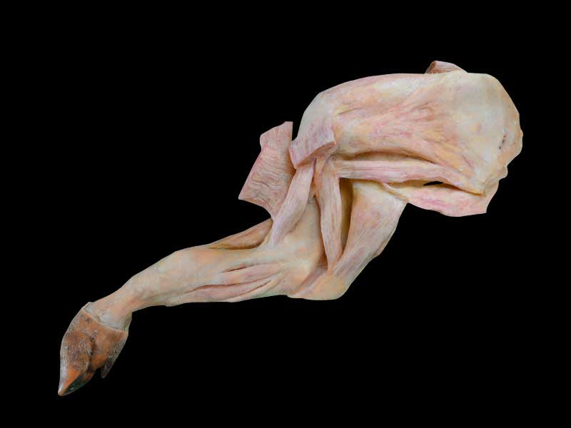 The anatomy of pig foreleg muscle plastinated specimen