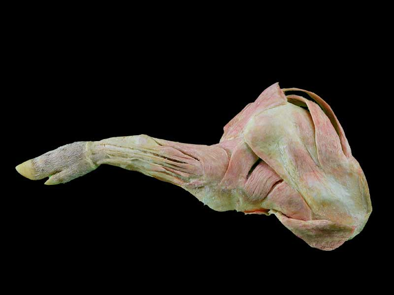 The anatomy of pig foreleg muscle plastination