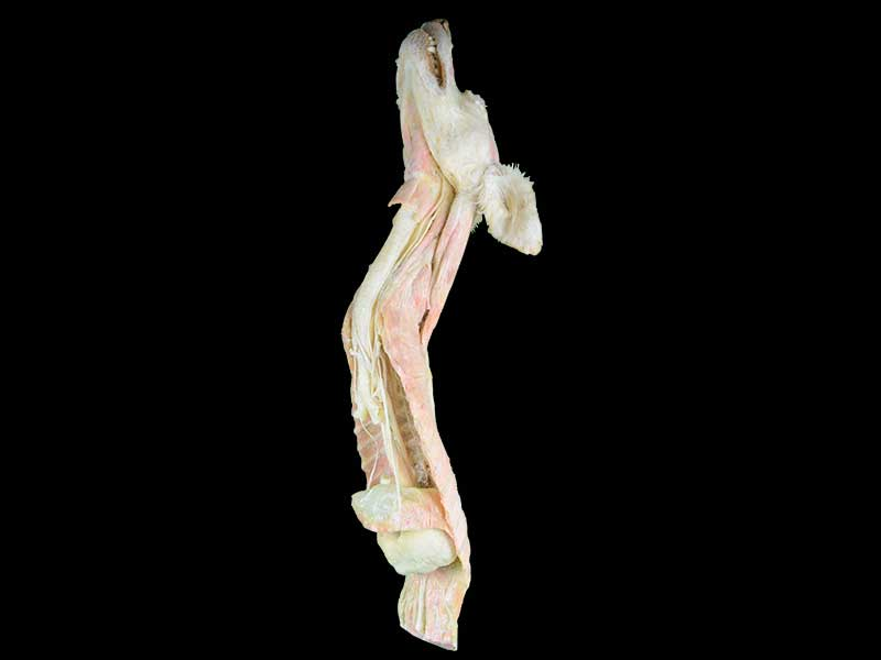 The dog vagus direction and branch plastinated specimen
