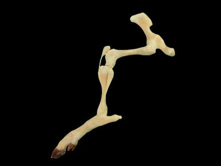 The joint of pig hind legs plastinated specimen