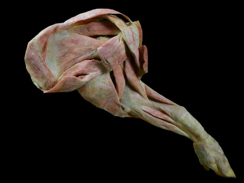 The pig foreleg muscle plastination specimen
