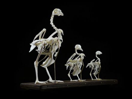 Hen skeleton specimens