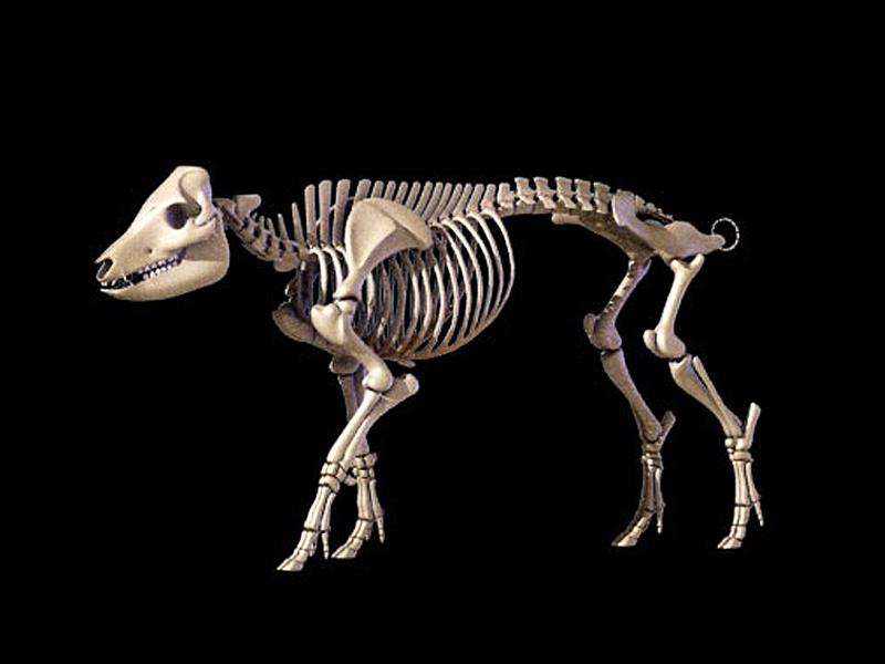 Pig Bone Specimensanimal Skeleton Specimensanimal Anatomy Model