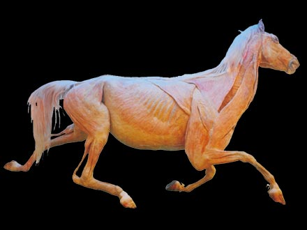 Horse whole body plastinated specimens