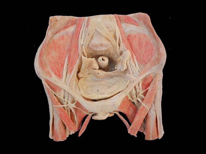 Female Pelvic Organs Human Body Plastinationmale Pelvis Medical