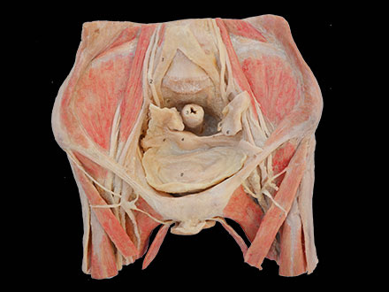 Female pelvic organs human body plastination