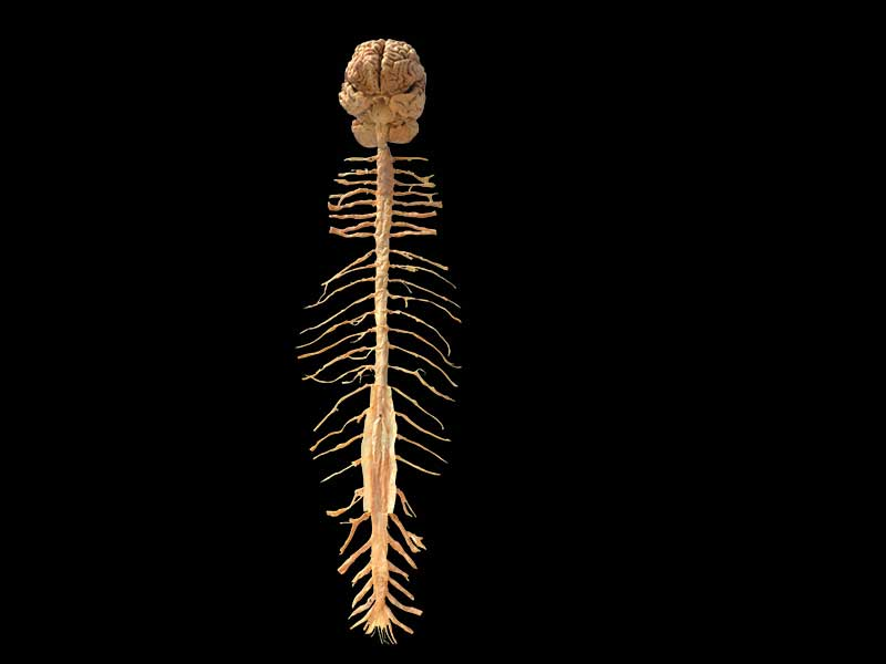 Human brain and spinal cord plastinated specimen