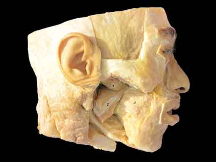 medial pterygoid and lateral pterygoid