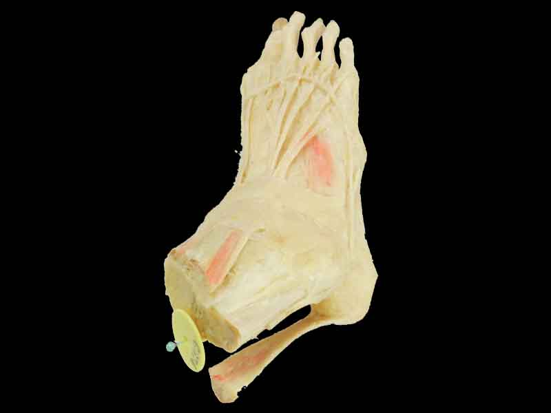 middle muscle of human foot for sale