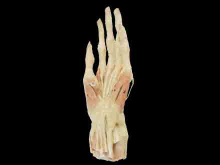 middle muscle of human hand