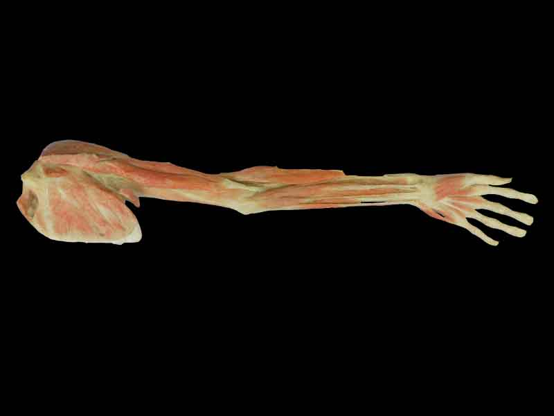 superficial and deep muscles of upper limb for sale