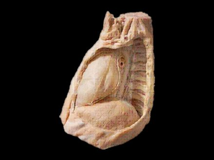 Mediastinum plastinated specimens( process of plastination )