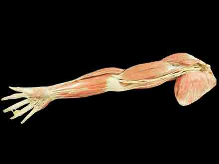 Superficial blood vessels and nerves of upper limb