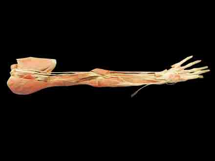 Deep arteries  of upper limb