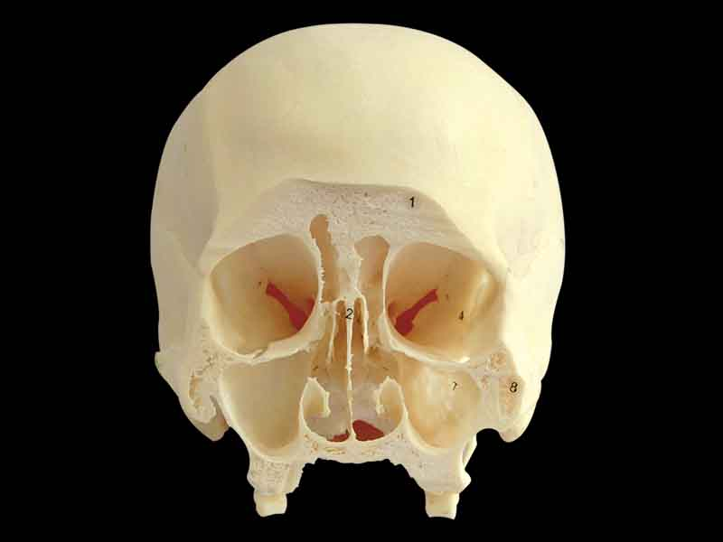 coronal section of skull through third molar