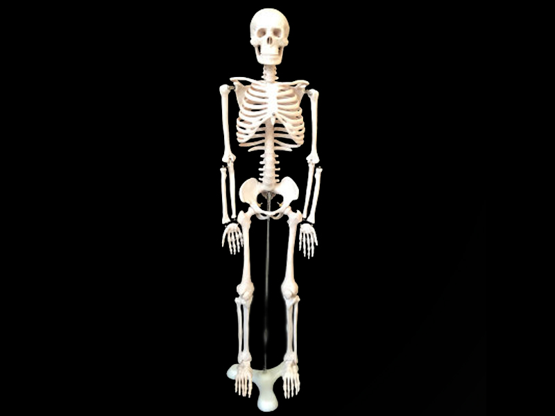 Human skeleton skeleton model  ( the human bones )