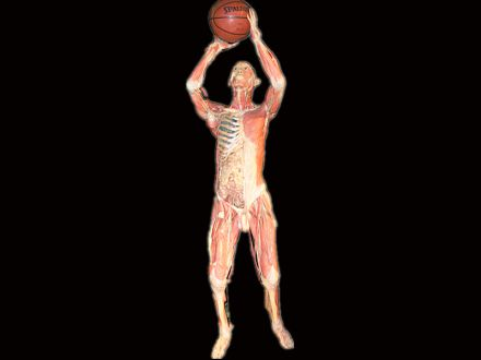 Basketball shooting plastinated specimens