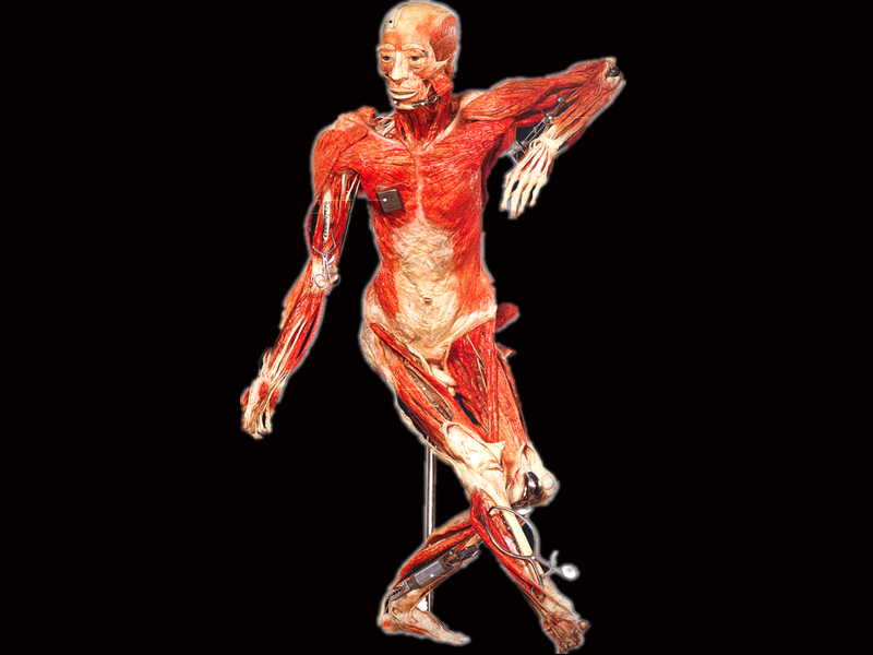 Dancing plastinated specimens