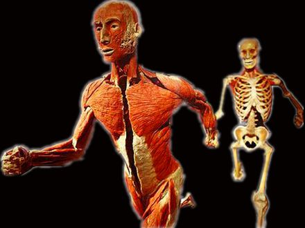 Relay race plastinated specimens( human specimen for sale )