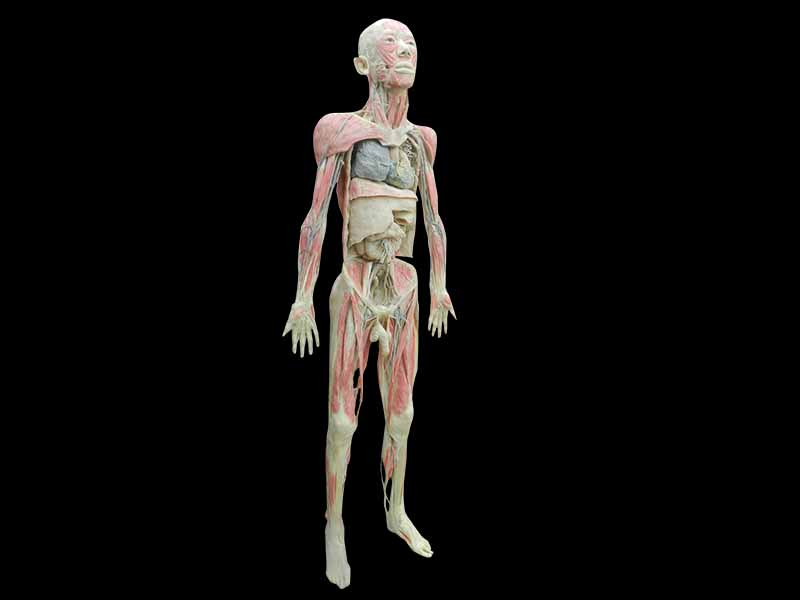 Whole body plastinaton for sale